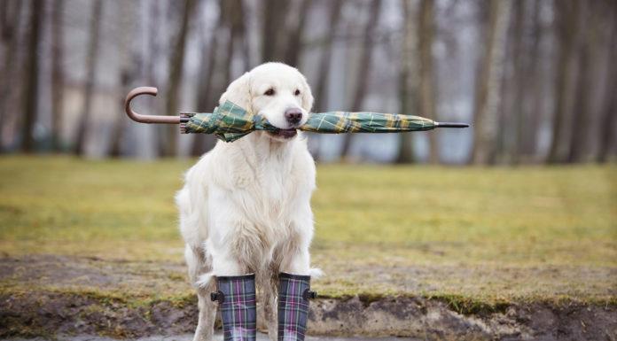 golden retriever dog ready for rain
